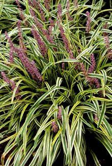 The Variegated Liriope is known by many names, the most well known being Monkey Grass.  For borders, sun or shade.