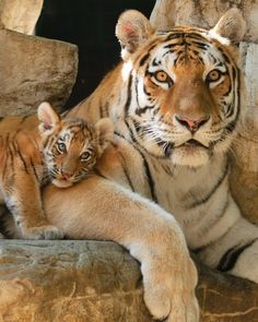 ~~Mama Siberian tiger with cub by Ron Parish~~ Such beautiful creatures Big Cats, Cats And Kittens, Cute Cats, Siamese Cats, Animals And Pets, Baby Animals, Cute Animals, Wild Animals, Animals Planet