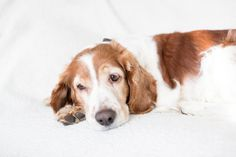 Welsh Springer Spaniel - Hmmm...