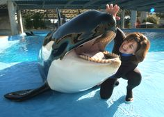 """Julie Scardina, SeaWorld's """"Animal Ambassador"""" works with Unna, a pound killer whale that has passed away at sea world Orcas, Keiko Orca, Flipper, Seaworld Orlando, Pet Vet, Wale, Marine Biology, Killer Whales, Cute Animal Pictures"""