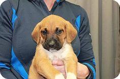 Racine, WI - Boxer/Anatolian Shepherd Mix. Meet Shere Khan, a puppy for adoption. http://www.adoptapet.com/pet/15575156-racine-wisconsin-boxer-mix