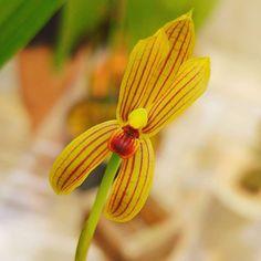 Mormolyca rigens  #flowers #flower #TagsForLikes #petal #petals #nature #beautiful #love #pretty #plants #blossom #sopretty #flowerstagram #flowersofinstagram #flowerslovers #flowerporn #botanical #floral #florals #insta_pick_blossom #flowermagic #instablooms #bloom #blooms #botanical #floweroftheday #orchid #orchids #orquídea #orquídeas