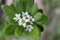 돈나무 Pittosporum tobira