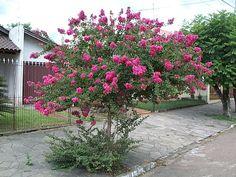 LAGERSTROEMIA INDICA (resedá). Pequeno porte, nativa da Índia e da China. É arbustiva, precisando de poda para ser conduzida à arvoreta. Caducifólia em climas mais frios. Cresce de 2 a 5m de altura, com copa globosa. Floração intensa em dezembro, janeiro e fevereiro, nas variedades branca, rosa ou lilás. Ornamental, mas não é eficaz para sombreamento. O tronco também é ornamental, claro e marmorizado.