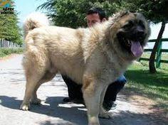 beyaz kafkas çoban köpeği ile ilgili görsel sonucu
