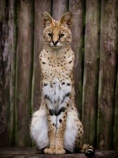 Image of a Serval Ph