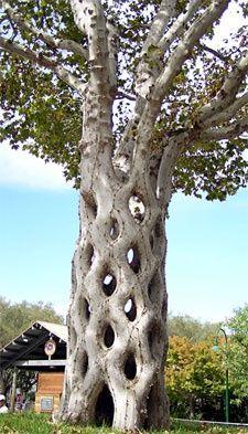 oddities of nature   Tree lattice   Nature's Oddities