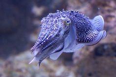 Cuttlefish at Sentosa aquarium, species unknown. Underwater Creatures, Underwater Life, Beneath The Sea, Under The Sea, Beautiful Creatures, Animals Beautiful, Fauna Marina, Deep Sea Creatures, Cuttlefish