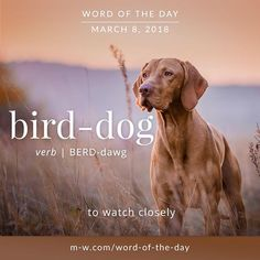 Today's #wordoftheday is 'bird-dog' . #language #merriamwebster #dictionary