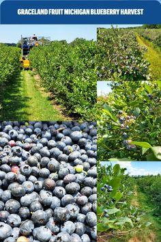 Graceland Fruit Michigan Blueberry Harvest Dried Blueberries, Graceland, Harvest, Blueberry, Michigan, Fruit, Products, Berry, Gadget