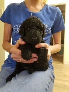 Goldendoodle Litter of 9 Puppies FOR SALE near MARIETTA, Georgia, USA. Gender: . Age: 2 Years Old. Nickname: Litter of 9 on PuppyFinder.com. ADN-62385