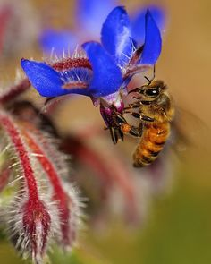 Borage – Why Is It So Good For Bees? - http://kiwimana.co.nz/borage-good-for-bees/ Borage – Brandon discusses the history of this great plant that bees all around the world love.