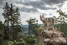 Awesome pic!! - Wolf