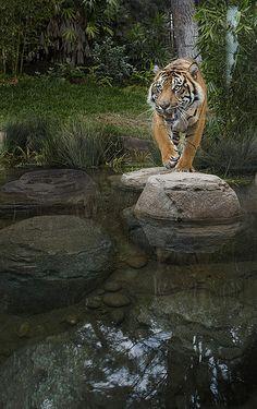 Sumatran Tiger   Flickr - Photo Sharing!