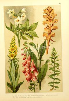 solanum tuberosum, orobanche rubens, verbascum thapsus, gratiola officinalis, digitalis purpurea      ...