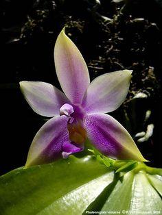 Phalaenopsis violacea in culture