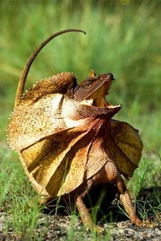 Personally? I think he's a bit overdone.  Frilled lizard