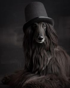Afghan Hounds have beautiful and long hair. What could be a better decoration than hats and accessories? Let's start watching exciting ideas for your dogs. Big Dogs, Cute Dogs, Dogs And Puppies, Doggies, Afghan Hound Puppy, Puppy Care, Fauna, Whippet, Beautiful Dogs