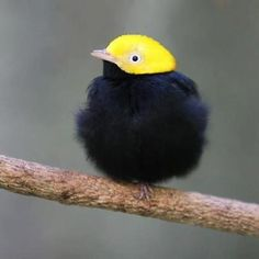 golden headed manakin        (photo by san diego shooter)