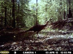 This is a small Jake. There are alot of turkeys in the area. Alabama wildlife, Alabama outdoors, hunting, wild game. http://ithappensinalabama.com