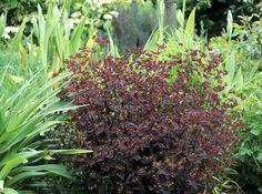 euphorbe 'Chameleon'. Mutation naturelle d'Euphorbia dulcis, elle est très accommodante mais craint les sols trop lourds. Excellent faire-valoir des floraisons rouges ou dorées. http://www.maison-deco.com/jardin/plantes-fleurs/Le-feuillage-pourpre-des-plantes-vivaces
