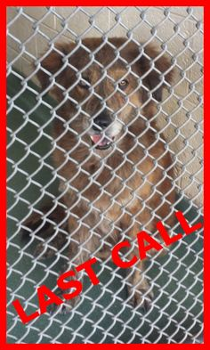 DUSTY - ID#A1670358 I am an unaltered male, brown and brown brindle German Shepherd Dog mix. The shelter staff think I am about 3 years old I have been at the shelter since Jan 03, 2015. — Miami Dade County Animal Services. https://www.facebook.com/urgentdogsofmiami/photos/pb.191859757515102.-2207520000.1421186153./909911935709877/?type=3&theater