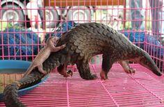 Manis Javanica, gran demanda tanto por su carne como sus escatas, que se utilizan en la medicina tradicional  como amuletos de amor.