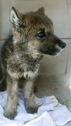 White Wolf: Lost wolf pup headed to new home