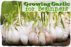 Container Gardening For Beginners Growing Garlic for Beginners. I really don't know too many people who don't like, if not love, the taste of garlic. We easily use bulbs of garlic a Gardening For Beginners, Gardening Tips, Flower Gardening, Herb Garden, Vegetable Garden, Garden Plants, Garden Web, Balcony Garden, Planter Ail