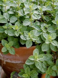 Pinch or trim the stems of oregano regularly to keep the plant bushy and tender.  Growing oregano in a container will help control it from spreading.