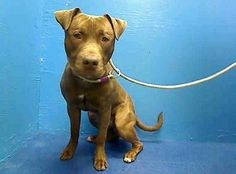 TO BE DESTROYED 08/30/13 Brooklyn BUSTER A0976685 Male brown/white pit mix 1YR All Buster wants to do is run, play & roll around in the grass get belly rubs & give doggie kisses. Instead ACC has this puppy  on tomorrow's euthanasia list.Are you the person who knows that Buster's just a big baby who is desperate for someone to teach him how to be a good, grown up dog? If you are, start applying to rescues to foster or adopt Buster now if you want Buster to make his 2B-day!