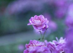 There's rose in thorn, there's thorn in rose.. http://bellofpeace.org @yocitomoci: pic.twitter.com/LxyUFC2cZa