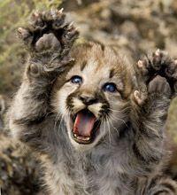 Rawwwwwwrrrrrr!  Baby mountain lion | mountain lion kitten raising both paws.