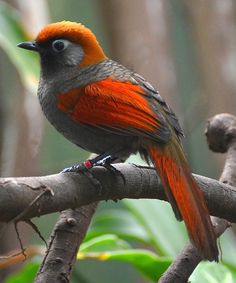 Red-tailed Laughingthrush (Trochalopteron milnei)