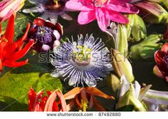 Image result for different giant lobelias found in the Andes