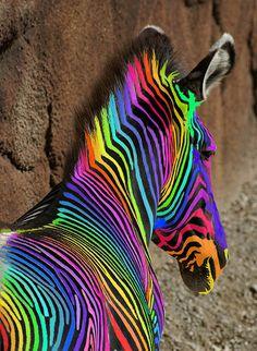 An  Extreemely Rare Rainbow Zebra by Creativity+ Timothy K Hamilton, via Flickr