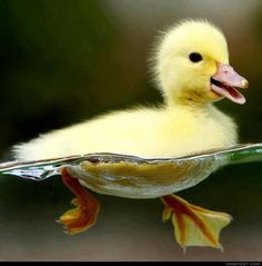 Little Duck.. Swimming like a Boss. So cute!