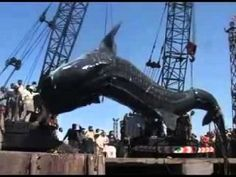 Fishermen in Pakistan found this 40 foot long whale shark dead offshore, and hauled it out of the sea in Karachi. Biggest Shark Ever, Big Whale, Beautiful Ocean, Big Fish, World's Biggest, Best Funny Pictures, Creatures, The Incredibles