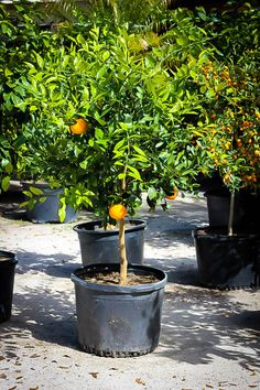 Shop the best selection of Citrus Trees online. We have a wide variety of Citrus Trees for sale including Orange Trees, Lemon Trees, Mandarins, Limes and more. Trees Online, Plants Online, Citrus Trees, Fruit Trees, Satsuma Tree, Potted Trees, Large Pots, Outdoor Rooms, Gardens