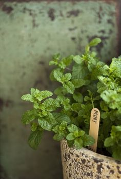 ALWAYS plant mint in containers!! Never in flower or vegetable beds. It will take over a garden faster than any weed. Getting rid of it is impossible once established.