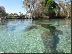 Kayaking on Crystal River, at the Three Sisters Spring in Crystal River, Florida. Look at all of those manatee!!