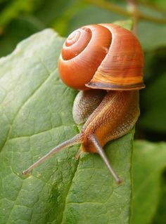 A pretty little snail I found on my sister's butterfly bush. Nature Animals, Animals And Pets, Funny Animals, Cute Animals, Beautiful Bugs, Animals Beautiful, Animal Original, Giant African Land Snails, Pet Snails