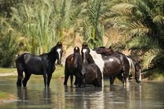Marwari horses in their oasis Edyta Trojańska-Koch Equine Photography
