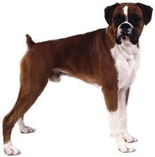 Google Image Result for http://images.wikia.com/organizedcrimefiction/images/4/40/Pictures-Boxer-Dog-Image.jpg