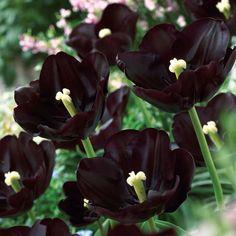 Black Tulips Bring Joy To The Eye And The Soul ~ schwarze tulpen bringen freude ins auge und in die seele Black Tulips Bring Joy To The Eye And The Soul ~ Dark Flowers, Bulb Flowers, Purple Flowers, Beautiful Flowers, Moon Garden, Dream Garden, Types Of Tulips, Gothic Garden, Tulip Bulbs