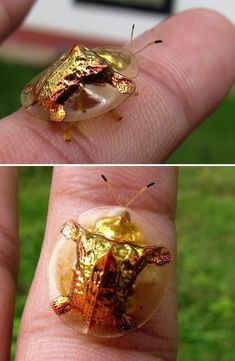 Golden Tortoise Beetle, :D cool! If it touches me it dies. I hate bugs. Weird Insects, Cool Insects, Bugs And Insects, Beautiful Creatures, Animals Beautiful, Insect Photos, Cool Bugs, Beetle Bug, Leaf Beetle