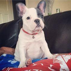 Emma, the French Bulldog Puppy, #emma #frenchie #emmathefrenchie #frenchbulldog #blue