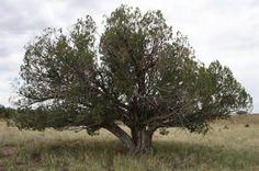 Large Juniper tree