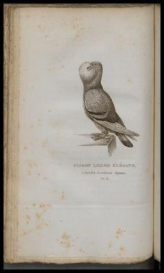 Columba insulensis elegans. Les Pigeons de volière et de colombier, ou Histoire naturelle des pigeons domestiques. Paris :Audot & Corbié,1824. Biodiversitylibrary. Biodivlibrary. BHL. Biodiversity Heritage Library