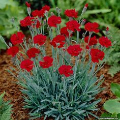 Fire Star Dianthus blooms from late spring to fall.  The red blooms are fragrant, loved by song birds and make for an excellent low maintenance border or  ground cover.  Cut back after flowering and it will re-bloom in the fall. Fire Star thrives in hot dry sites or gravelly soils. Perfect for slopes and rock gardens. (Dianthus)PP